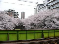 両岸の桜 その一