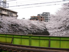 両岸の桜 その二
