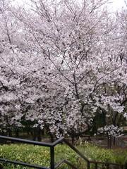 戸山公園の桜 その一