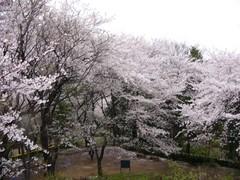 戸山公園の桜 その二